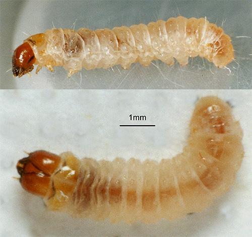اليرقات العثة لديها جهاز قضم قوي ، لذلك فهي ، وليس الفراشات العثة ، التي تضر الطعام والأشياء.