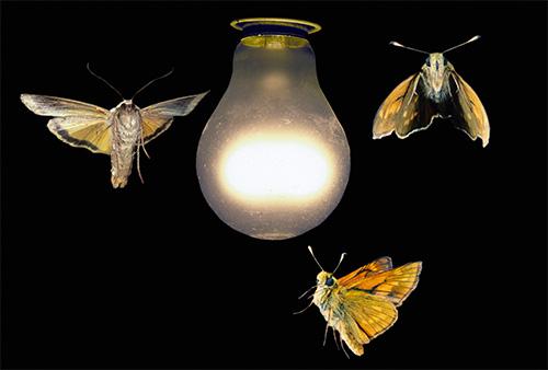 على الرغم من أن الفراشات تسبب بعض الإزعاج عند الطيران إلى ضوء مصباح ، إلا أنها لا تستطيع لدغة أي شخص.