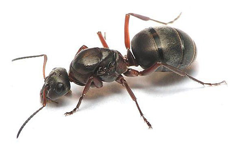 عادة في النمل من النمل الأحمر ملكة واحدة فقط