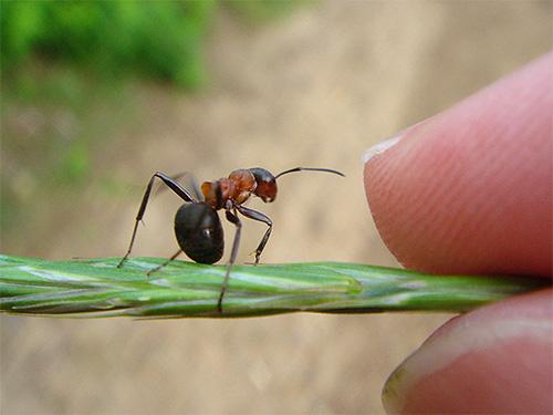 النمل الغابات الحمراء هي كبيرة جدا.