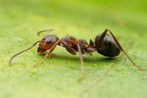 نملة الغابة لديها فقط الصدر وأسفل الرأس الأحمر ، ولكن بطنها يكاد يكون أسود.