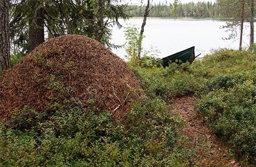 الركام في النمل الغابات هي طويلة جدا.