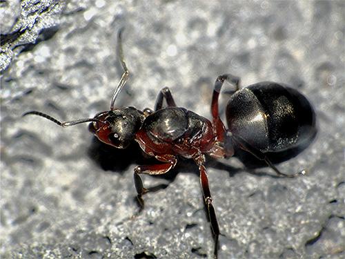 على الصورة - رحم النمل الغابات الحمراء عن قرب