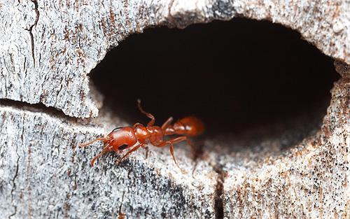ويعتمد العمر الافتراضي للنمل بشكل كبير على نوعه ووظائفه.