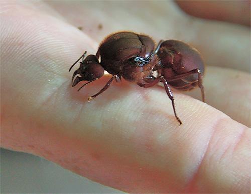 عادة ما يعيش رحم النمل أطول بكثير من بقية أعضاء المستعمرة