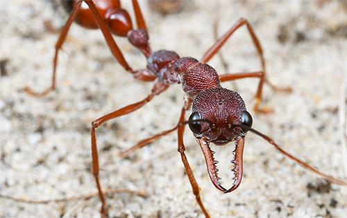 يمكن أن يعيش عامل Bull Ants لمدة تصل إلى 5 سنوات