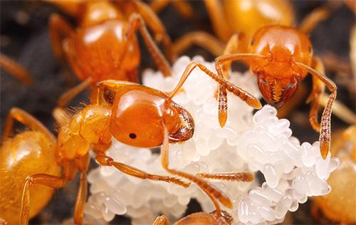 في بداية حياتهم ، يعتني النمل الفرعون باليرقات.