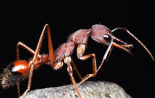 صور من النمور بلدغ - واحدة من النمل الأكثر عمرا