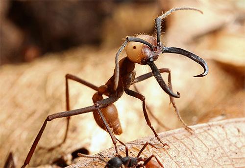 لا يستطيع النمل الرحل التفاخر بنفس طول عمر النمل بولدوج ، ولكن معروفة لسجلات أخرى.