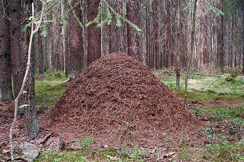 غالبًا ما توجد غابات في شكل كومة كبيرة في غاباتنا.