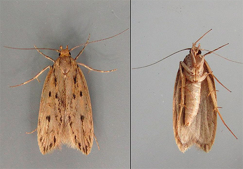 When choosing a remedy for moths, it is necessary to consider how quickly a pest should be removed, as well as the type of moth (clothes or food).