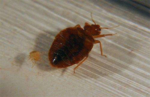 Vrij sterk insecticide in de samenstelling van Clopoveron zorgt voor een snelle verlamming en de dood van bedwantsen