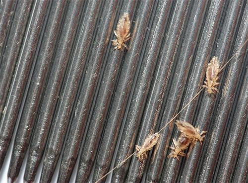 Lice on the ridge