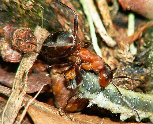 붉은 숲 개미는 애벌레를 개똥 지로 끌고갑니다.