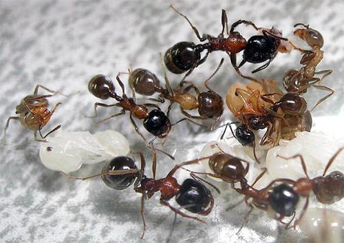 개미 사료와 그들의 애벌레