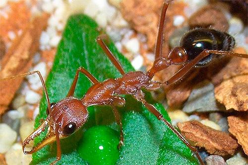 การถ่ายภาพ Ant Bulldog