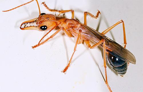 불독 개미는 매우 강력한 턱을 가지고 있습니다.