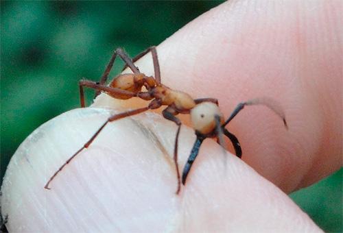 사진에서 유목민 개미 손가락으로 남자를 물기