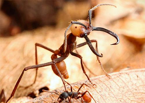 유목민 개미는 매우 큰 곤충이다.
