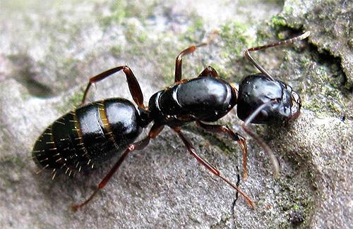 우드 와이어 개미