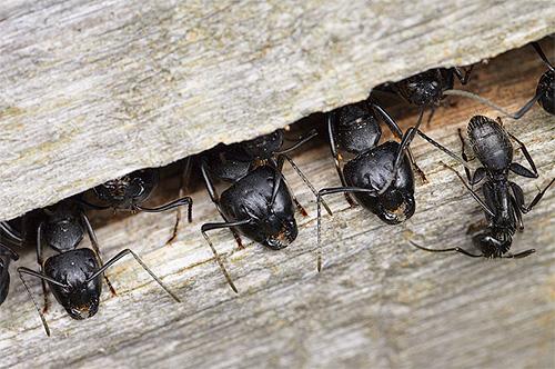 목수 개미는 나무에서 그들의 개미를 바로 잡을 수 있습니다.