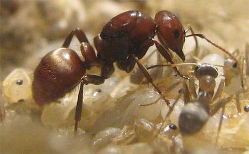 아마존 개미