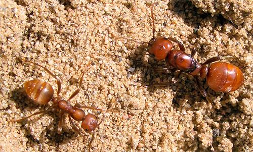 아마존 개미 식민지에 일하는 종업원이 없습니다. 여왕과 병사 만 있습니다.
