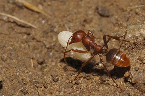 아마존 개미가 다른 애들에게서 애벌레를 납치했다.