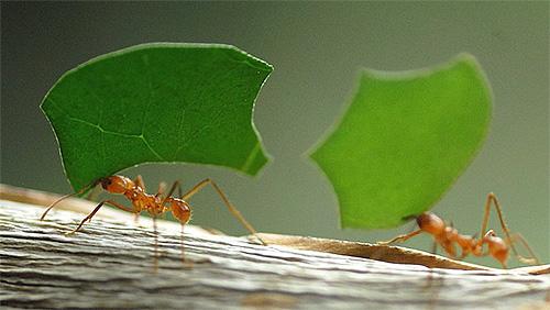 잎 커터 개미의 사진