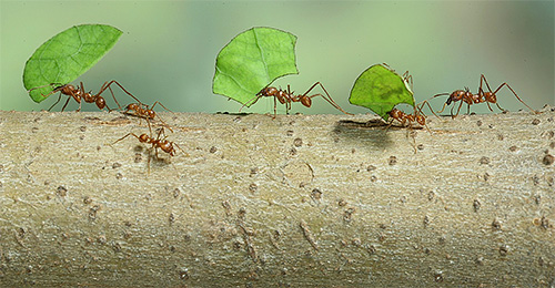 잎 절단 개미는 버섯을 키우기 위해 식물 잎을 사용합니다.