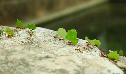 잎 커터 개미의 끈