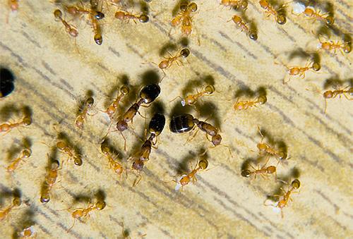 파라오 개미 - 아파트의 알려진 해충
