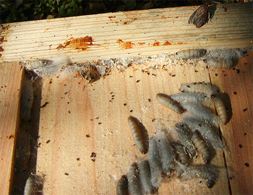 عثة الشمع هي آفة من خلايا النحل ، ولكن العديد من مربي النحل تربى خصيصا لهذا الغرض
