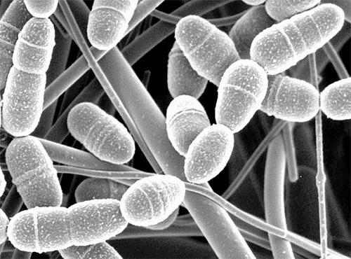 يعتقد أن يرقات عثة الشمع تحتوي على إنزيم خاص قادر على تحطيم جدران الخلايا الممرضة.