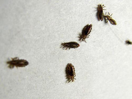 ยาฆ่าแมลงสมัยใหม่เป็นตัวอัมพาตเหาและฆ่าพวกมันได้อย่างรวดเร็ว