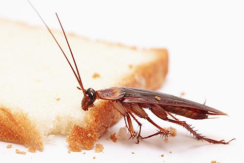 تنجذب الصراصير برائحة الطعام ، التي تستخدم في الفخاخ من أجلها.