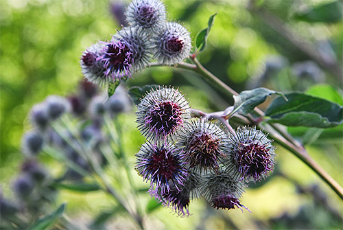 Broth of burdock has insecticidal properties, so it will be effective in the fight against lice