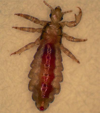 Pair Plus is primarily designed to kill head lice.