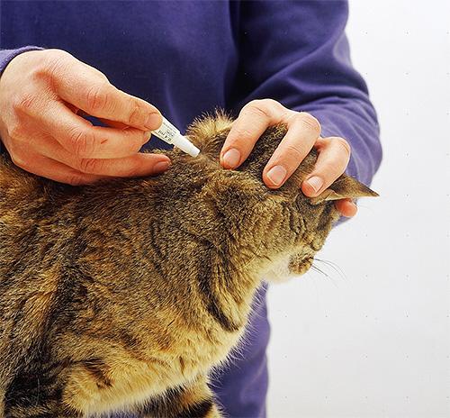 من الضروري محاولة وضع القطرات على الفراء ، ولكن على جلد الحيوان.