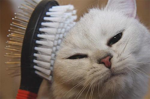 قبل التعامل مع قطة للحصول على البراغيث ، يجب أن تمشيطها بعناية.