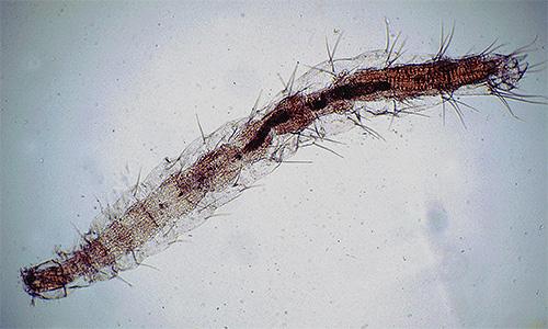 يرقات البراغيث تحت المجهر
