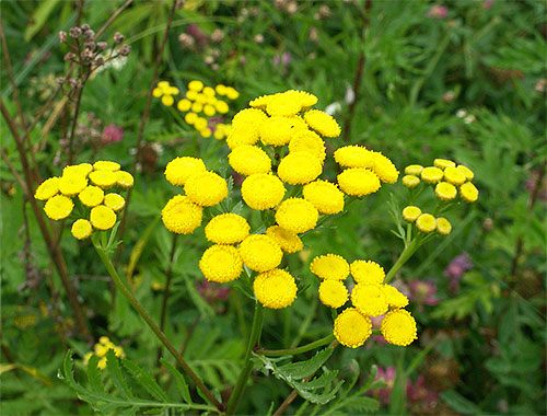 Among the plants whose smells are afraid of fleas, tansy and wormwood are especially effective.