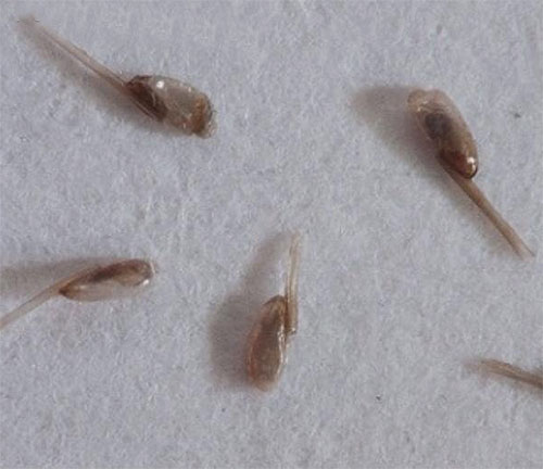 Virtually any remedy for lice and nits should be combined with combing parasites using a comb.