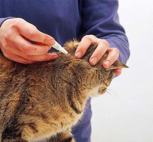 Bir kedi pire ile tedavi etmek