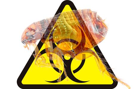 Dairelerde bulunan her türlü pire, tehlikeli hastalıkların patojenlerini taşıyabilir.