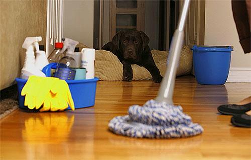 بعد بعض الوقت بعد العلاج من الشقة من البراغيث تحتاج إلى تنفيذ تنظيف الرطب شامل