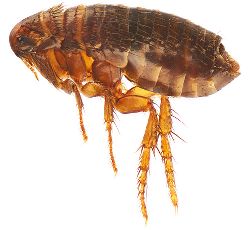 مع العلاج المناسب للحيوانات الأليفة ، فإن الرذاذ يسبب الشلل في البراغيث ، وبعد ذلك تموت الحشرات بسرعة
