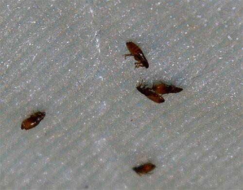 مبيدات الحشرات في تكوين الرش الحديثة تؤثر بسرعة وفعالية البراغيث ، دون التسبب في ضرر للحيوان