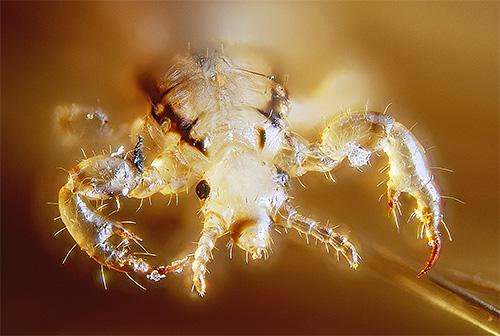 เหาสมัยใหม่โชคไม่ดีมักทนต่อยาฆ่าแมลงจำนวนมาก