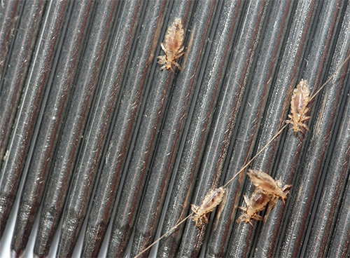 On the photo - lice combed using a special comb